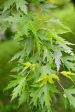 Maple silvery Acer saccharinum L., a branch with leaves Royalty Free Stock Image