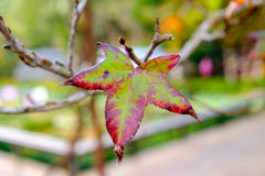 Maple single dry sear leaf beautiful on branch Stock Photo