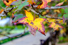 Maple single dry sear leaf beautiful on branch Royalty Free Stock Image