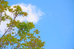 Maple and sky Stock Images