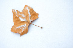 Maple and snow. Yellow maple leaf lightly covered in snow Royalty Free Stock Image