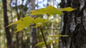Maple sprig in autumn forest. There is a short but marvellous time in the autumn: the Golden autumn or Indian summer. The whole day is clear like a crystal, and stock video