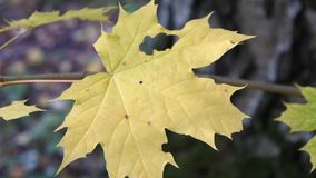 Maple sprig in autumn forest. There is a short but marvellous time in the autumn: the Golden autumn or Indian summer. The whole day is clear like a crystal, and stock footage