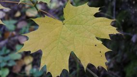 Maple sprig in autumn forest. There is a short but marvellous time in the autumn: the Golden autumn or Indian summer. The whole day is clear like a crystal, and stock video footage