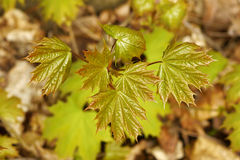 Maple spring fresh leaves Royalty Free Stock Images