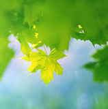 Maple spring leaves Stock Photo