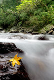 Maple on the stone with river trace color Royalty Free Stock Images