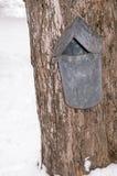 Maple sugar bucket. Maple sugar collection bucket on maple tree, Lenox, Massachusetts, Berkshires during March springtime harvest, New England Stock Photo