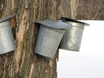 Maple Sugar Pots. An old tapped maple tree in an early spring landscape royalty free stock image