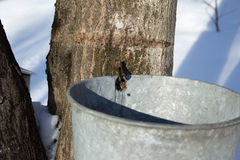 Maple Sugar Tap. With bucket in the snow Stock Photos