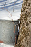 Maple Sugar Tap. In a maple tree with metal bucket Stock Images