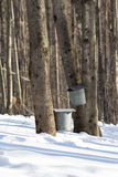 Maple Sugar Taps in Snow. Maple Sugar taps and buckets in late winter Stock Photos