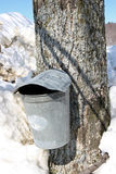 Maple Sugar tree and  collection bucket. For maple syrup, Wilmington,Vermont Stock Images