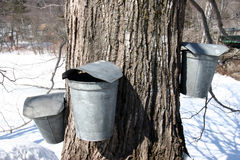 Maple Sugar tree and  collection buckets Royalty Free Stock Image