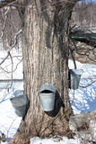 Maple Sugar tree and  collection buckets Stock Photo