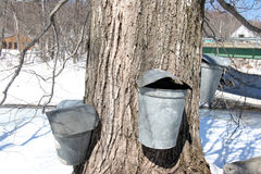 Maple Sugar tree and  collection buckets Royalty Free Stock Photo