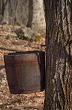 Maple Sugaring. Old wooden bucket on a maple tree collecting sap in early spring Royalty Free Stock Image