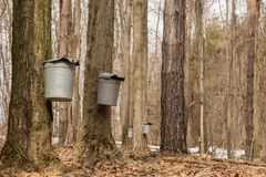 Maple sugaring. Royalty Free Stock Photography