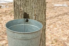 Maple sugaring. Royalty Free Stock Image