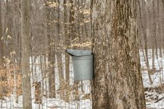 Maple sugaring. Royalty Free Stock Photos