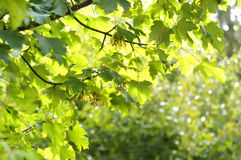 Maple in the summer Royalty Free Stock Photo