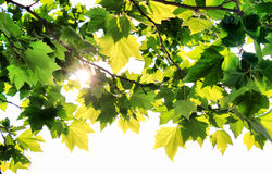 Maple and sun. Photo green leafs of maple with sunbeam royalty free stock photography