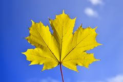 Maple sun Stock Photography