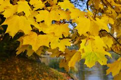 Maple suns Royalty Free Stock Images