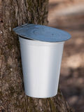 Maple syrup bucket on tree close-up Stock Photography