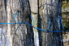 Maple Syrup Lines. During maple syrup season in Maine stock photo