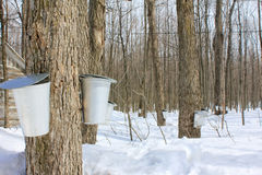 Maple syrup season. royalty free stock photo
