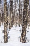 Maple syrup season in rural Quebec. Forest in springtime during maple sap collection royalty free stock photo