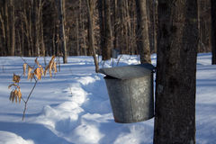Maple Syrup Tap and Bucket. Sugarbush maple syrup tap in winter Stock Images