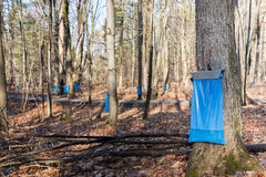 Maple Syrup Tapping in the Spring. Tapping maple trees in the Spring to make maple syrup. Blue collection bags collecting natural food using a traditional royalty free stock images