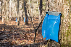 Maple Syrup Tapping in the Spring Stock Photo