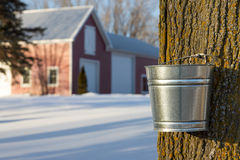 Maple Syrup Tapping Royalty Free Stock Photos
