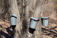 Maple Syrup Time. Colecting sap for maple syrup production stock images