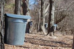 Maple Syrup Time II. Buckets collect sap for maple syrup production royalty free stock image