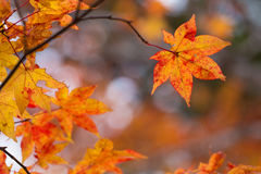 Maple, Texture of yellow Royalty Free Stock Photos