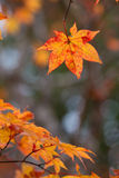 Maple Royalty Free Stock Image