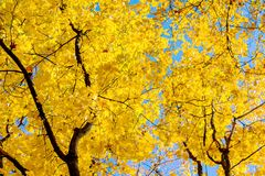 Maple with thick yellow leaves on an autumn sunny day_ royalty free stock image