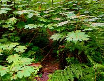 Maple Time. Huge maple leaves at Camp Creek Campground - near Rhododendron, OR Royalty Free Stock Photography