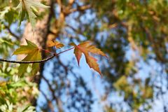 Maple.Transparent Colorful Autumn leaves. royalty free stock image
