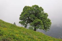 Maple Tree Stock Photos