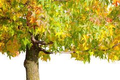 Maple Tree. Partial maple tree isolated on white background royalty free stock photo