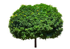 Maple tree. Leafy green maple tree isolated on white background Royalty Free Stock Photo
