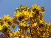 Maple tree. Fantastic colors of maple tree and blue sky Royalty Free Stock Photo