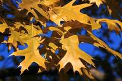 Maple tree Stock Photography