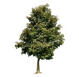 Maple tree. Isolated on white background Stock Photography