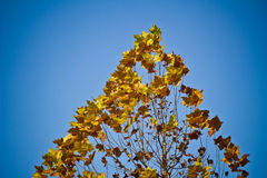 Maple tree. In autumn with blue sky Royalty Free Stock Photography